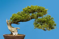 13 Types of Bonsai Trees (by Style and Shape Plus Pictures) Slanting Bonsai Tree Bonsai Tree Types, Indoor Bonsai Tree, Indoor Trees, Bonsai Trees, Growing Seeds, Growing Tree, Hazelnut Tree, Roman Garden, Mediterranean Plants