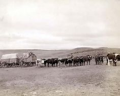 Photo of The last large bull train on its way from the railroad to the Black Hills. It was made in 1890. Train of oxen and three wagons in open field.