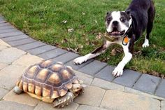 crazy dog with a desert Tortoise.  An uncertain and excited dog jumping around a large tortoise. SPAZ DOG