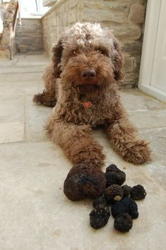 The Lagotto is the only pure bred dog in the world recognised as a specialised truffle searcher.