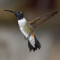 Black-chinned Hummingbird. Order Apodiformes. Spotted in Martinez, CA Comes to my feeder daily.