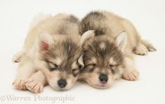 Sleepy Utonagan puppies
