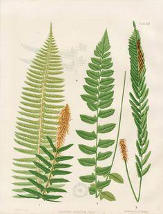 Eaton Antique Prints of Ferns 1879