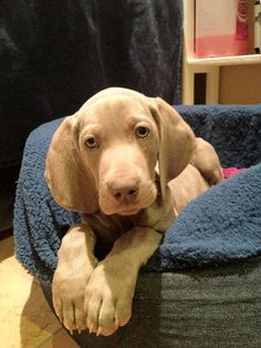 Our Weimie - Max #nikmax #weimaraner