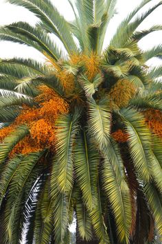 Palm tree with fruits in Santa Barbara, California - by flora-file Fruit Plants, Desert Plants, Tropical Plants, Cactus Plants, Palm Tree Flowers, Exotic Flowers, Palm Trees, Beautiful Fruits, Beautiful Flowers