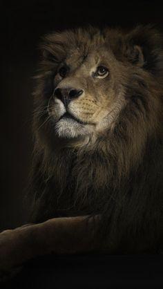 Roaring Lion Iphone 5 Wallpaper Wallpapers