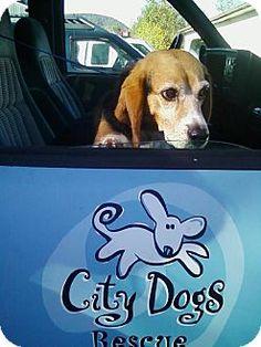 Washington, DC - Beagle. Meet Sonny, a dog for adoption. http://www.adoptapet.com/pet/11739994-washington-dc-beagle
