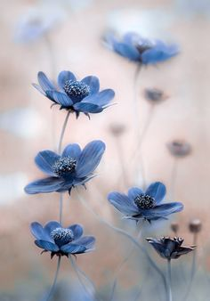 Cosmos blues by Mandy Disher on 500px