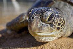 Зеленые морские черепахи в Индонезии Funny Animals, Turtle, Nature, Turtles, Naturaleza, Tortoise, Funny Animal, Hilarious Animals, Funny Animal Comics