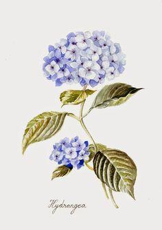 Hortensia (Hydrangea) illustration, watercolor by: Los pájaros de Verónica Algaba