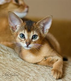 **[CAT SNIP: Abyssinians have become wildly popular, in part because of their unique beauty, [they are depicted in Egyptian artwork], and in part because of their personalities.' Aby's' are athletic and playful, but also extremely loving to their humans.