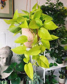 Succulent Terrarium, Planting Succulents, Planting Flowers, Hanging Plants, Indoor Plants, Indoor Gardening, Air Plants, Popular House Plants, Vine House Plants