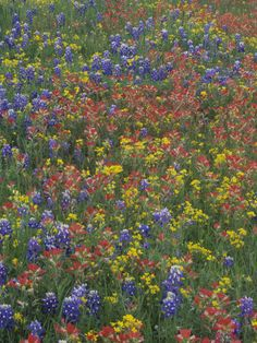Meadow of Texas Bluebonnets, Texas Paintbrush, and Low Bladderpod Flowers, Hill Country, Texas, USA