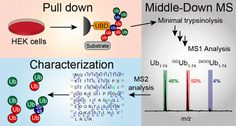 #AChem: Ubiquitin Chain Enrichment Middle-Down Mass Spectrometry Enables Characterization of Branched Ubiquitin Chains in Cellulo #MassSpec