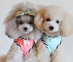 #poodle #cutie #dog #dogs