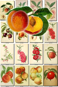 PEACH-7 Collection of 190 vintage images pictures High