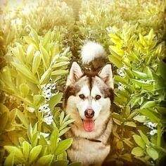 Alaskan Malamute, Malamute Dog, Snow Dogs, Dog Mom, Dog Life, Husky, Pets, Fields, Nature