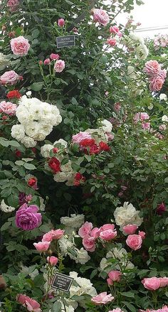 A garden of different colored roses...perfect!