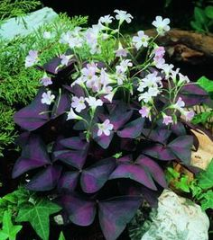 Oxalis Triangularis (Purple Shamrock). Great For Low Light. $10 Bulbs.