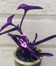 Indoor Plant Pots, Best Indoor Plants, Ornamental Plants, Foliage Plants, Wow Photo, Fast Growing Plants, Leaf Coloring, Green Plants, Purple Plants