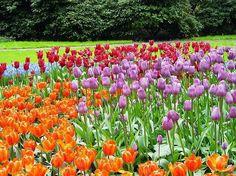 Sete milhões de tulipas te espera no Keukenhof, na Holanda, no sudoeste de Amsterdã. O jardim é considerado o maior jardim de flores do mundo. Vale ou não a visita? - keukenhof.nl