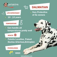 Why Dalmatians are considered stupid, and more about them http://petsutra.com/wp-content/uploads/2016/08/dalmatian.jpg  http://petsutra.com/why-dalmatians-are-considered-stupid/ Dalmatians owe their popularity to the Disney film, 101 Dalmatians. The movie gave them the kind of boost that the other breeds can only dream about! So if you are looking for a dog to adopt, or you already own a Dalmatian or you are simply a dog enthusiast, we bring you right facts that you pr.