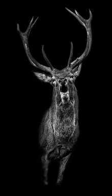 Der Ruf, picture from the series Black Edition by Claudio Gotsch, artist of category FINE WORKS at photo art editions LUMAS Dog Tattoos, Animal Tattoos, Hirsch Tattoos, Image Avion, Animal Photography, Nature Photography, Natur Tattoos, Tattoo Henna, Art For Sale Online