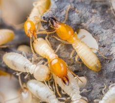 Are you trying to prevent a termite infestation? Here are a few natural home remedies for termite control that work wonderfully as prev Signs Of Termites, Types Of Termites, Drywood Termites, Termite Pest Control, Termite Damage, Millions Of Dollars, Pest Control Services, Natural Home Remedies, Animales