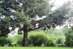 Hemlock with the Grasses