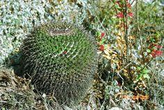 Mammillaria gigantea. Central Mexico native. Ball/clumping shape.