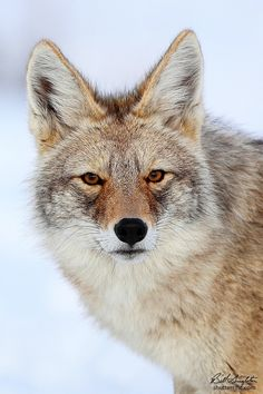 Wild coyote in Yellowstone National Park, Wyoming. Photographed in winter. Predator Hunting, Coyote Hunting, Archery Hunting, Deer Hunting, Pheasant Hunting, Hunting Baby, Beautiful Creatures, Animals Beautiful, Cute Animals