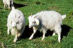 Angora goats -British navigator James Cook brought a milking goat with him on his first trip to New Zealand. On his second trip, in 1773, he released goats. More were later imported for sailors, castaways and miners to use as food. The animals spread around the country, and have eaten and damaged native vegetation. Today, goats are farmed for milk, meat, and fibre from their hair.