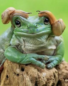 His frog, a species native to Australia and New Guinea, does appear to be remarkably tolerant of his two slimy head guests
