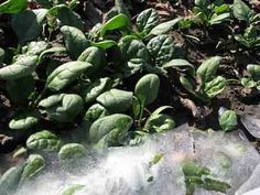 30 Hardy Vegetables That Tolerate Cold Temperatures - LivingGreenAndFrugally.com