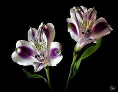 Alstroemeria Photograph by Endre Balogh
