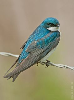 Tree Swallow Tachycineta Bicolor Love The More Teal Color To This Bird I