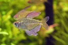Diamond Tetras. i had five once now i only have two.