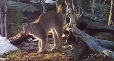 LYNX MARKS ITS TERRITORY AFTER DEFEATING A WOLVERINE