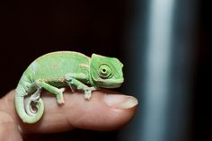 Baby Chameleon by lcooper1223 #Chameleon #animals
