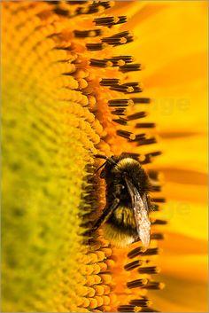 Edith Albuschat - Eine Hummel auf Pollensuche