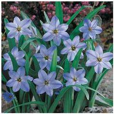 Spring Starflower Bulb