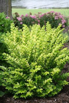 Shrubs Golden Ticket® - Privet - Ligustrum x vicaryi A new variety that doesn't drop seedlings, non-invasive variety. White flowers in spring - Garden Shrubs, Shade Garden, Garden Beds, Front Yard Landscaping, Backyard Landscaping, Landscaping Ideas, Landscaping Software, Dessert Landscaping, Gardens