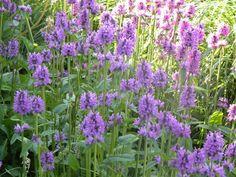 Vindeceaua - Stachys officinalis, Foto: torontobotanicalgarden.ca