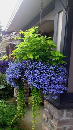 A simpler hanging basket palette of blue and chartreuse with Lobelia erinus Laguna Sky Blue taking center stage.