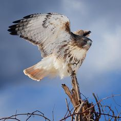 #Red-tailed Hawk