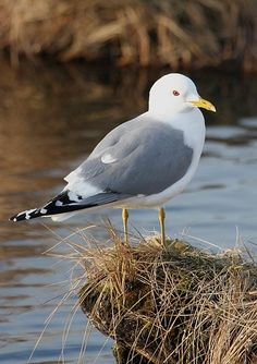 -common (or mew) gull (stay near coasts)