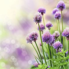 """If there were an award for """"easiest herb to grow"""", growing chives would win that award. Learning how to grow chives is so easy that even a child can do it. Get growing tips for chives in this article. Easy Herbs To Grow, Growing Herbs, Plants For Small Gardens, Garden Plants, Chives Plant, Grow Chives, Garlic Chives, Thank You Images, Information Technology"""