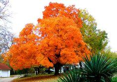 Kansas State Tree Cottonwood Travel Kansas Usa