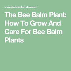 The Bee Balm Plant: How To Grow And Care For Bee Balm Plants