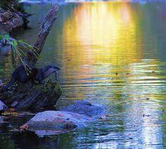 Title  Otter In Autumn   Artist  Dan Sproul   Medium  Photograph - Photograph-digital